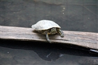 Bays Mountain Park | Turtle at Bays Mountain Park