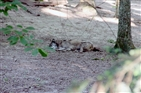 Bays Mountain Park | A wolf sleeping at Bays Mountain Park
