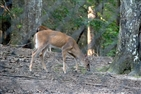 Bays Mountain Park | A deer at Bays Mountain Park