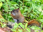 Red Squirrels on Roan Mountain
